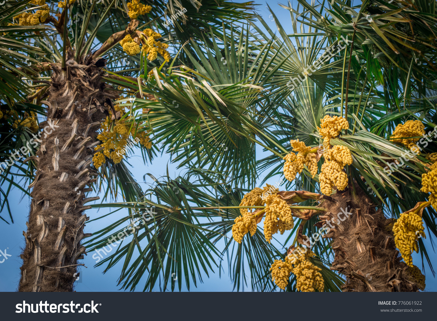 Green Palm Trees Yellow Flowers On Stock Photo Edit Now 776061922