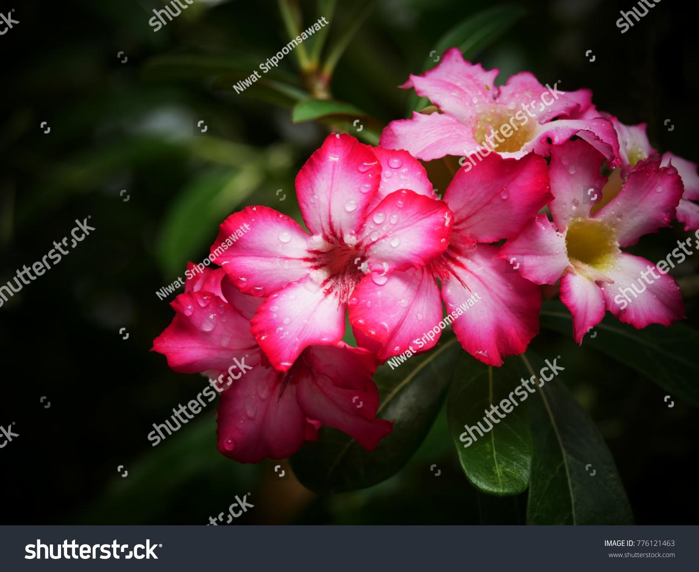 Adenium Azalea Flowers Colorful Species Flowers Stock Photo (Royalty ...
