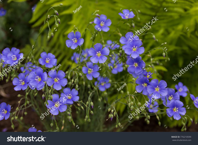 Beautiful flowers blue linen fresh perennial stock photo edit now beautiful flowers of blue linen fresh perennial plant amazing blue flowers izmirmasajfo