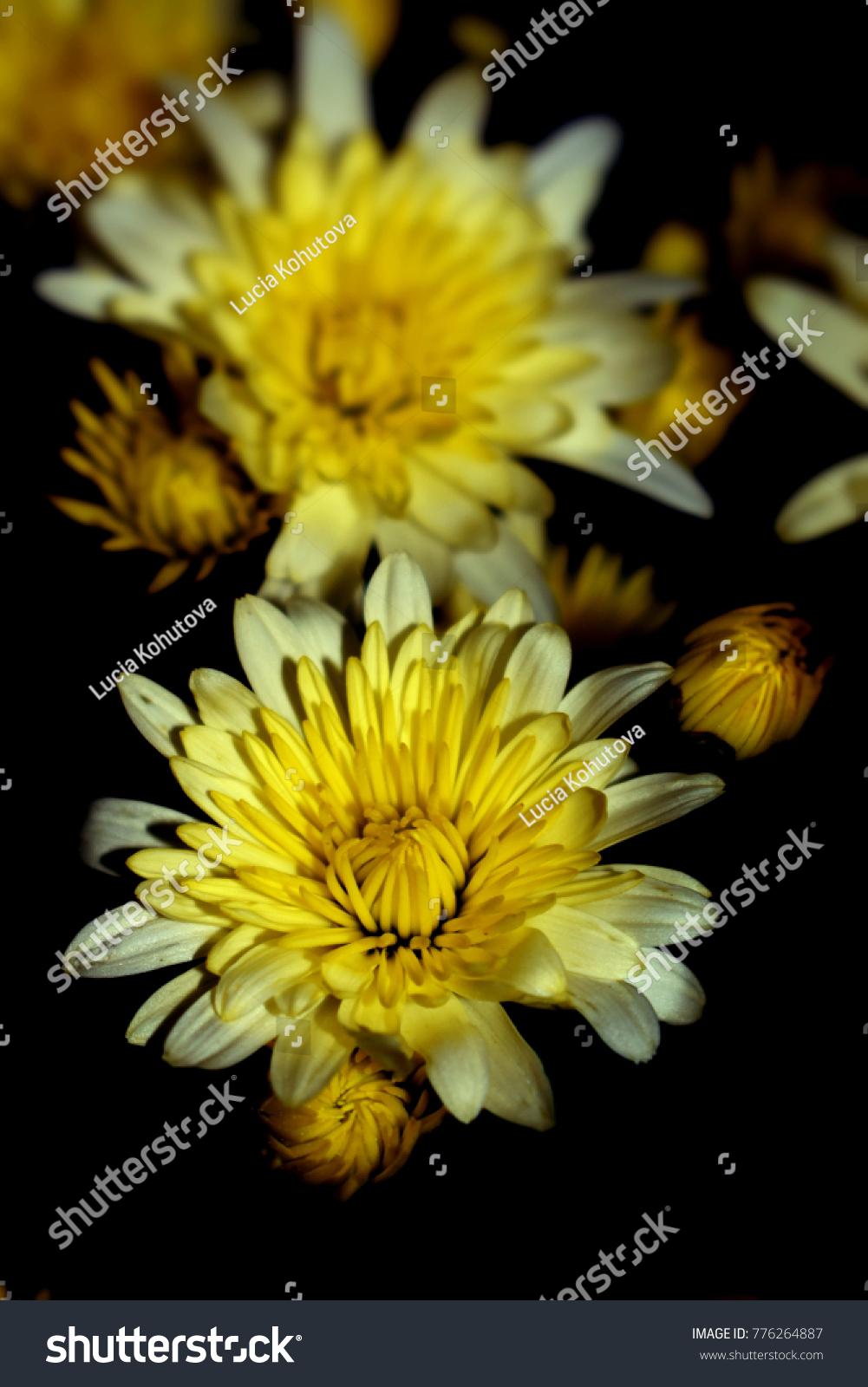 Yellow Chrysanthemum Flowers Detail On Black Backround Ez Canvas