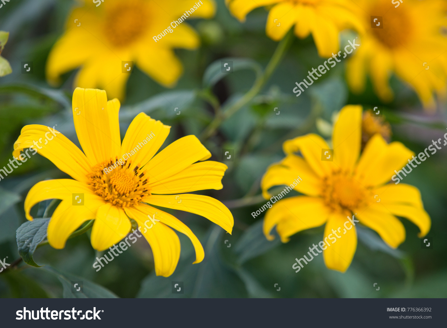 Beautiful Yellow Flowers In Thailand Tree Marigold Mexican