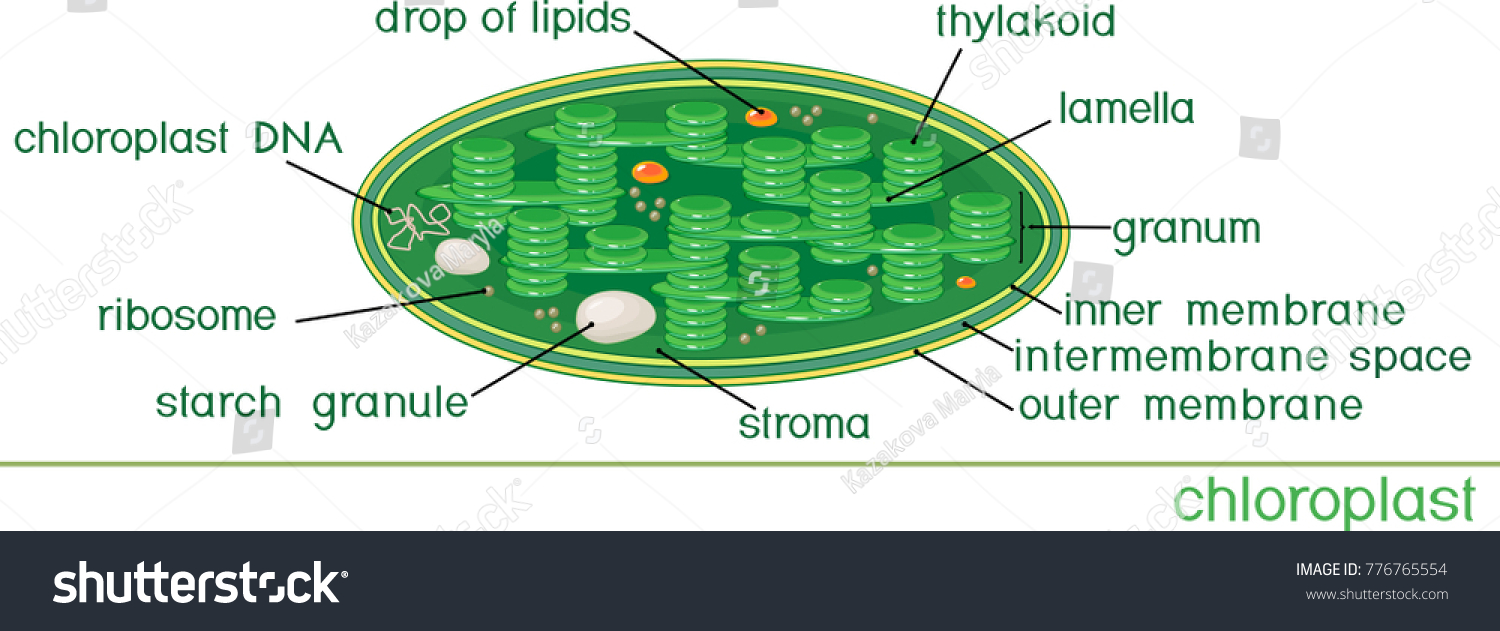 Structure chloroplast titles stock vector 776765554 shutterstock structure of chloroplast with titles pooptronica
