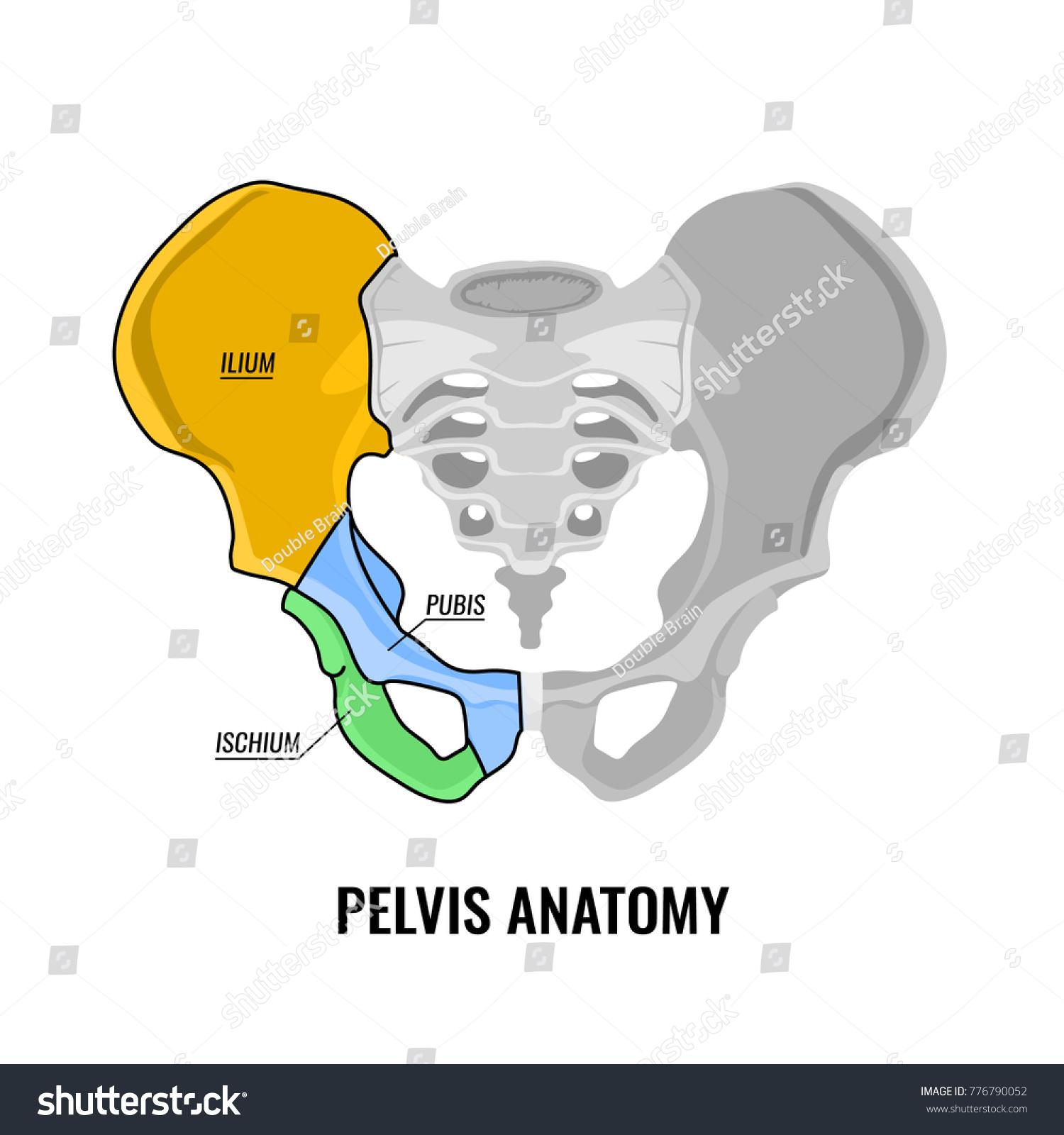 Human Male Anatomy Scheme Main Pelvis Stock Vector 776790052 ...
