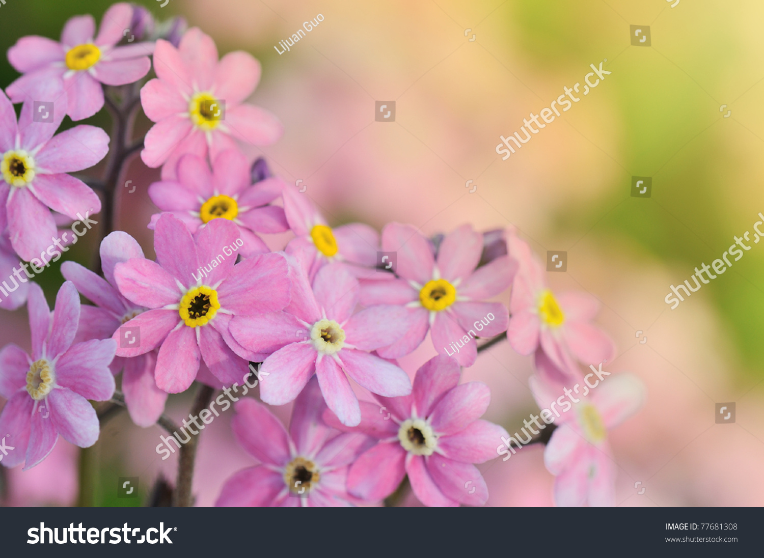 Pink Forget Me Not Flowers Under Stock Photo Edit Now 77681308
