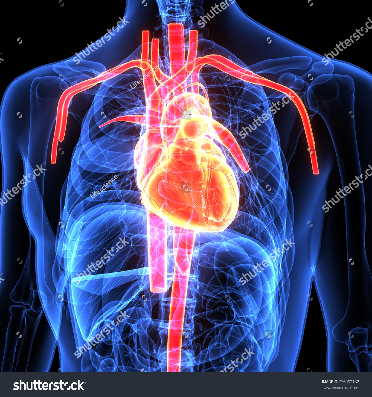 3 D Illustration Human Body Heart Anatomy Stock Illustration