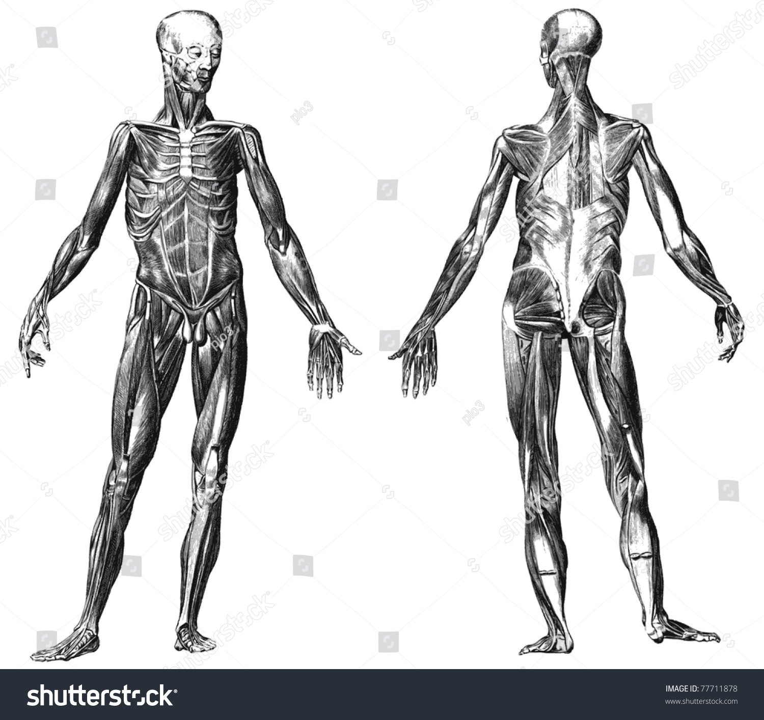 Engraving Body Muscles Illustrations Atlas Published Stock ...