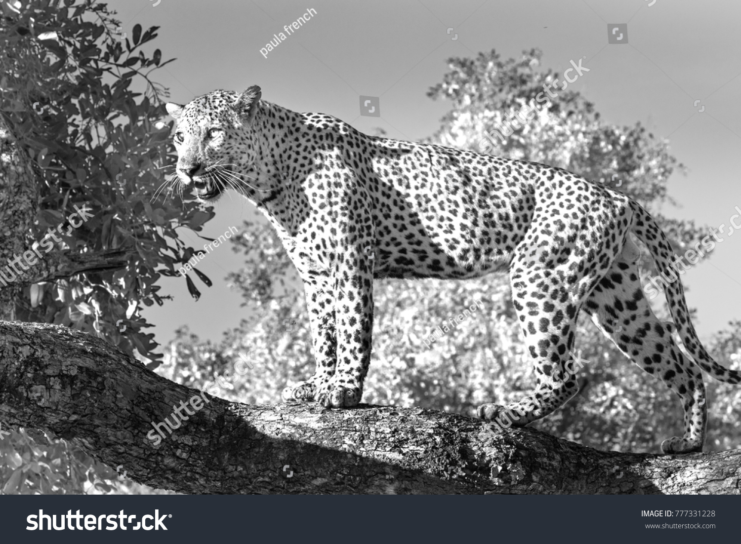African leopard in black & white standing on a large tree branch with a natural tree background in south luangwa national park, zambia
