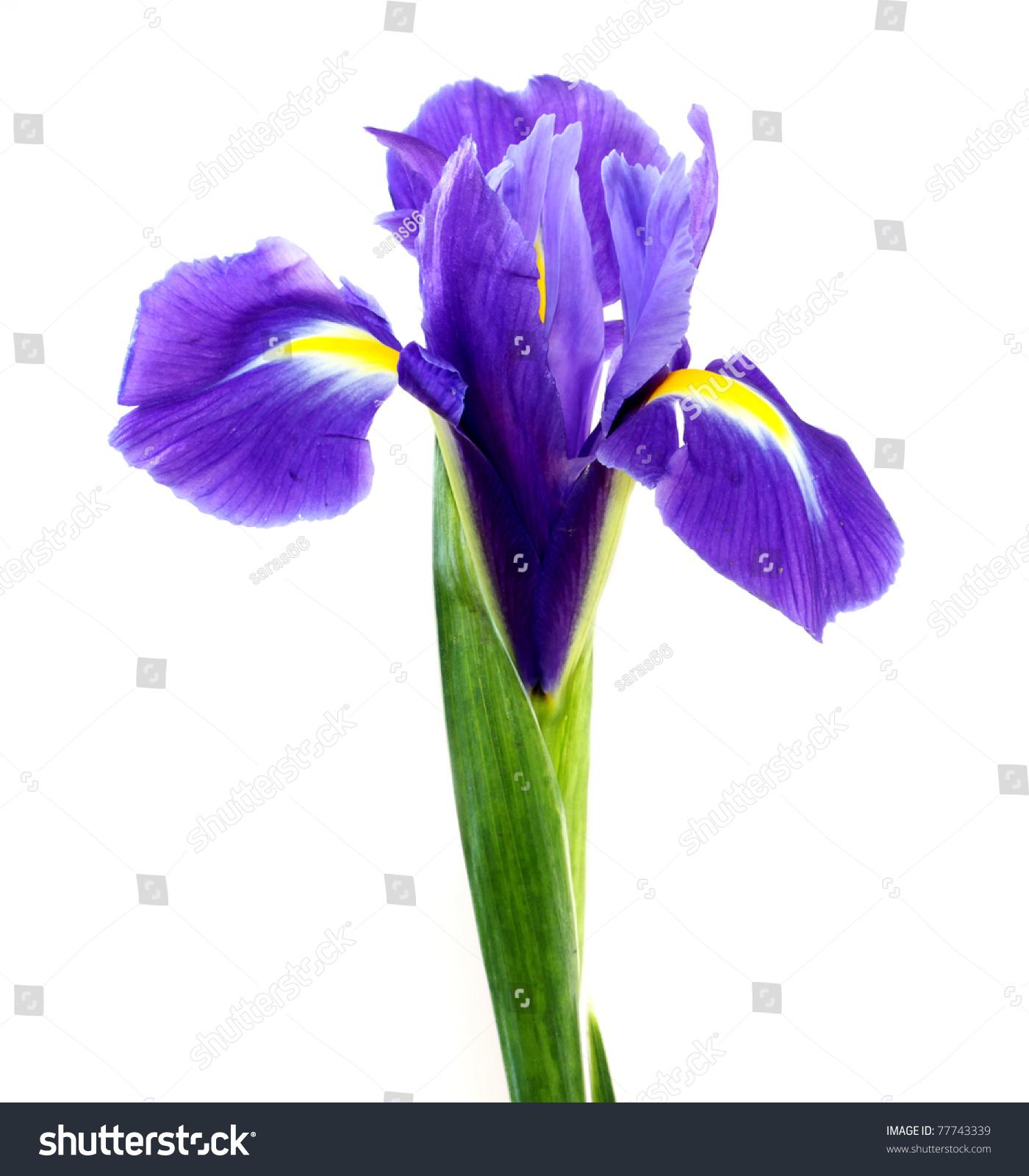 Beautiful dark purple iris flower isolated on white background ez beautiful dark purple iris flower isolated on white background ez canvas izmirmasajfo