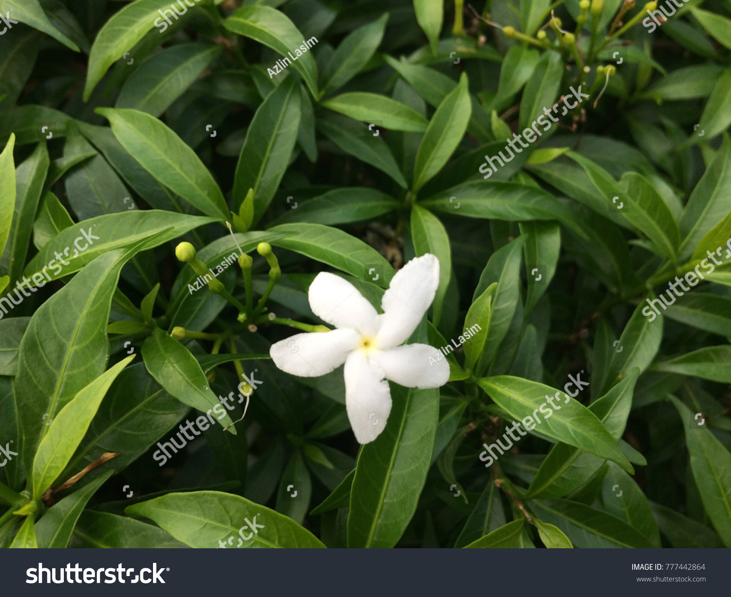 Closeup Photo Star Jasmine Flowers Jasminum Stock Photo Edit Now