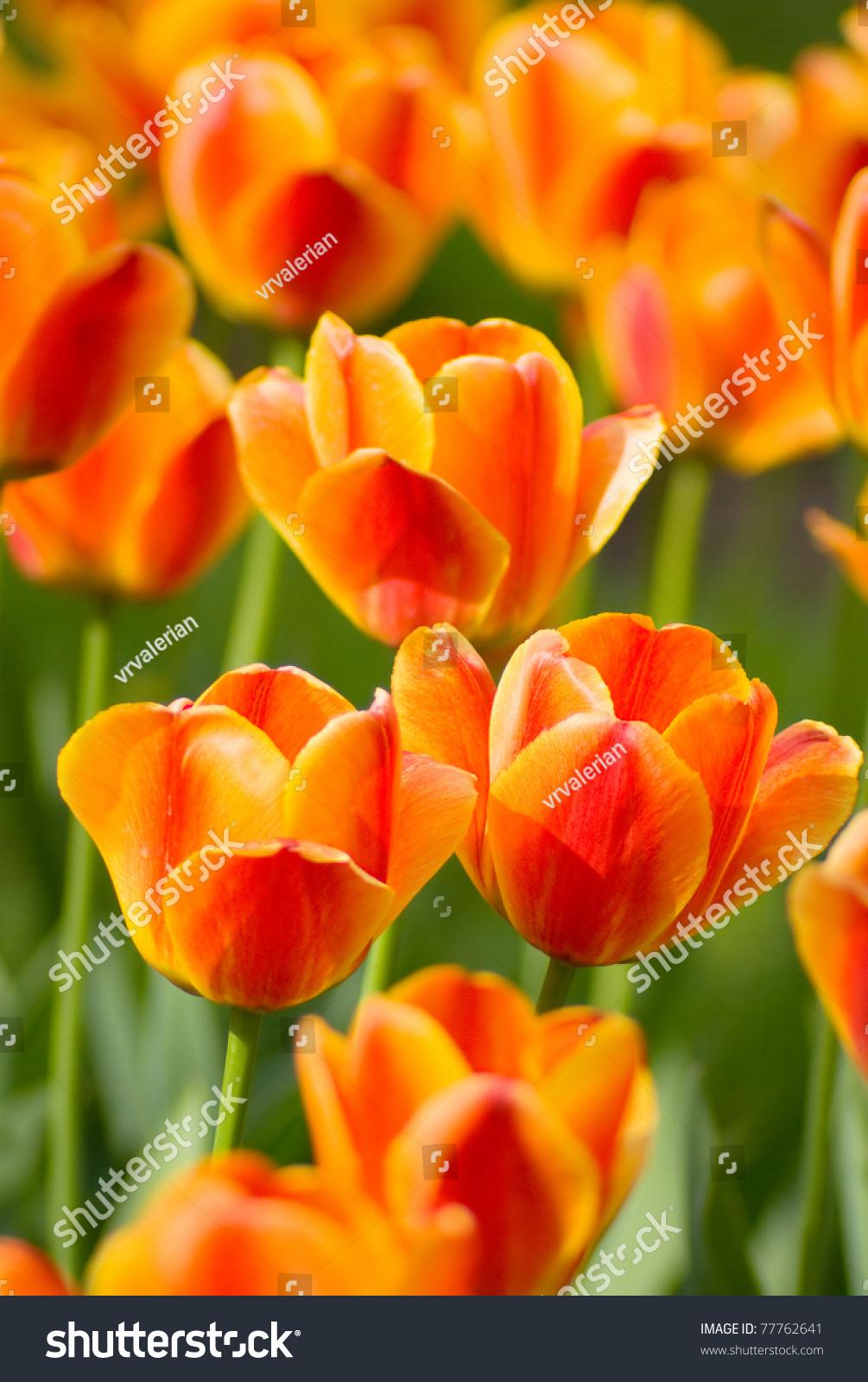Red Orange Yellow Tulips Flower Shot Stock Photo Royalty Free