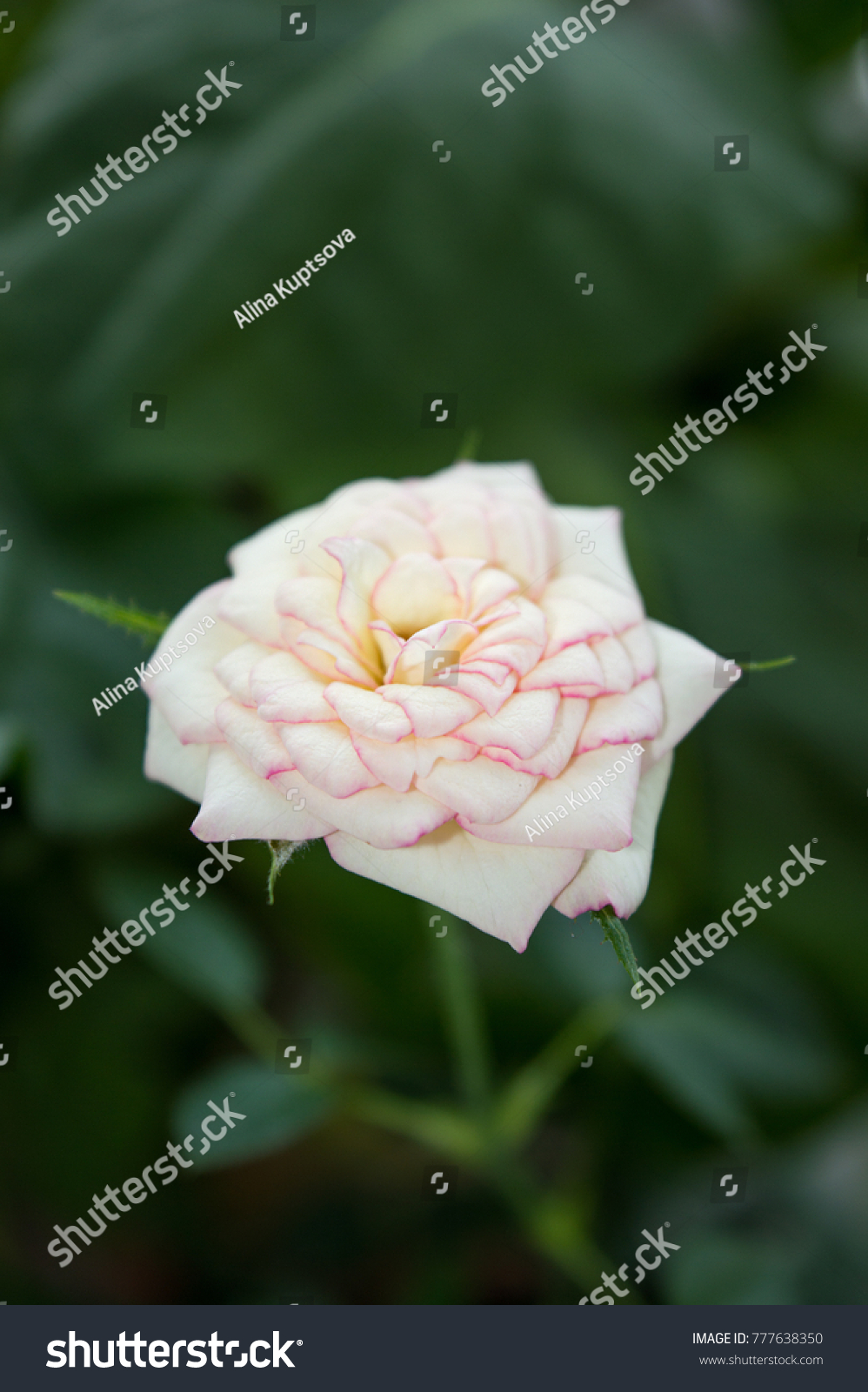 White Rose Flower Pink Edges On Stock Photo Image Royalty Free