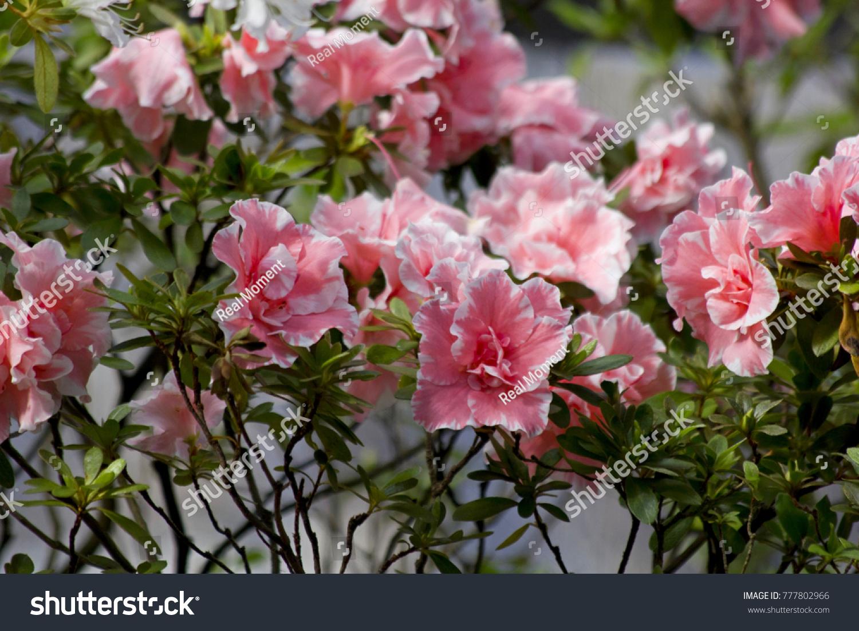 Big Pink Azalea Bush Rhododendron Garden Stock Photo Edit Now