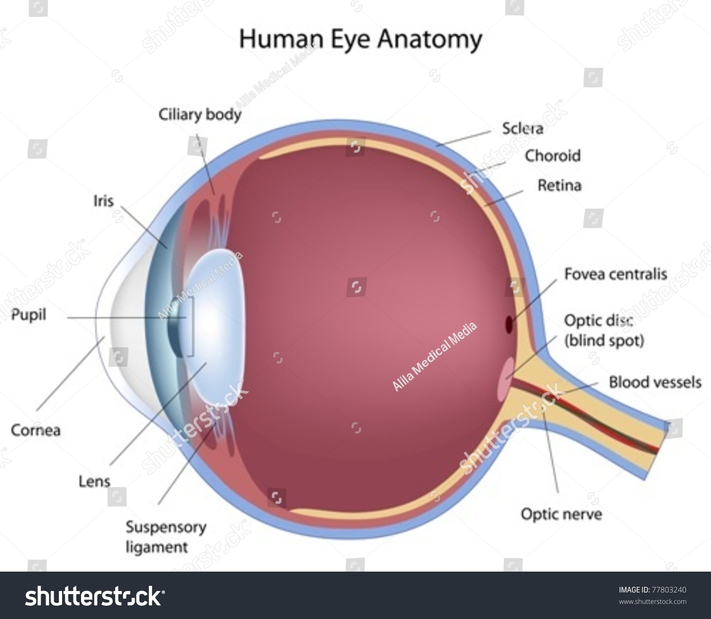 cross section of human eye stock vector illustration. Black Bedroom Furniture Sets. Home Design Ideas