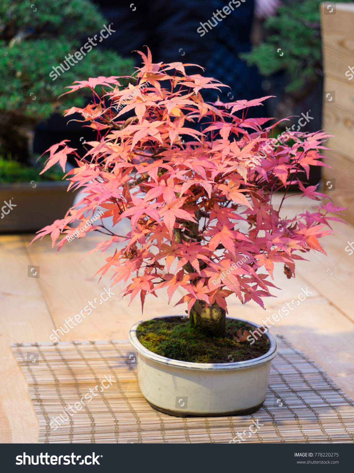 Dwarf Maple Tree Pink Leaves Exhibition Stock Photo Royalty Free