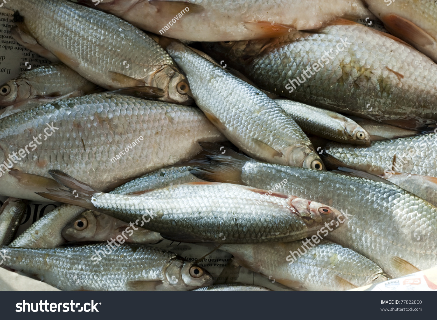 Background Full Of Small Edible Freshwater Fish Alburnus