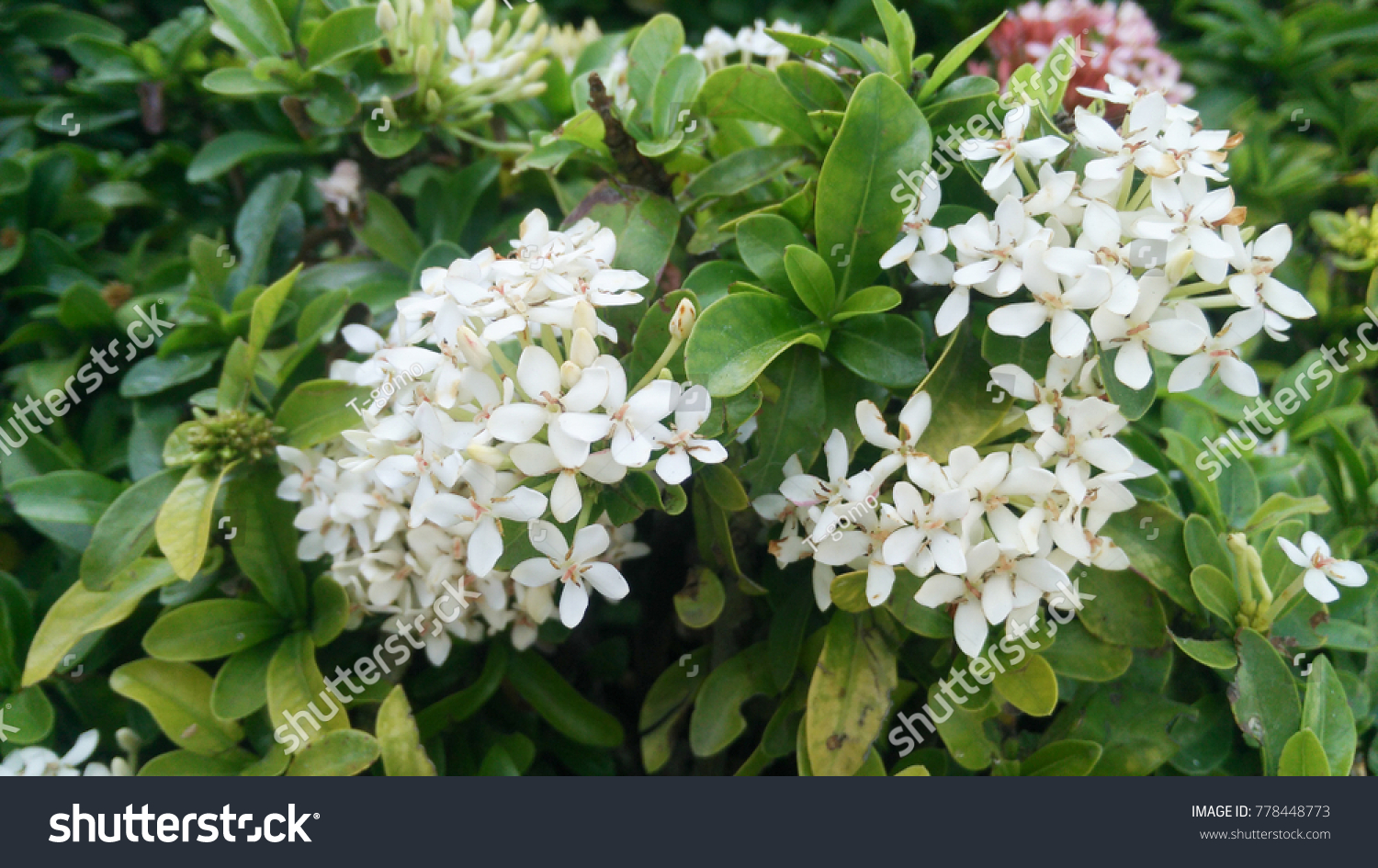 White west indian jasmine flowers blooming stock photo edit now white west indian jasmine flowers blooming in the garden izmirmasajfo