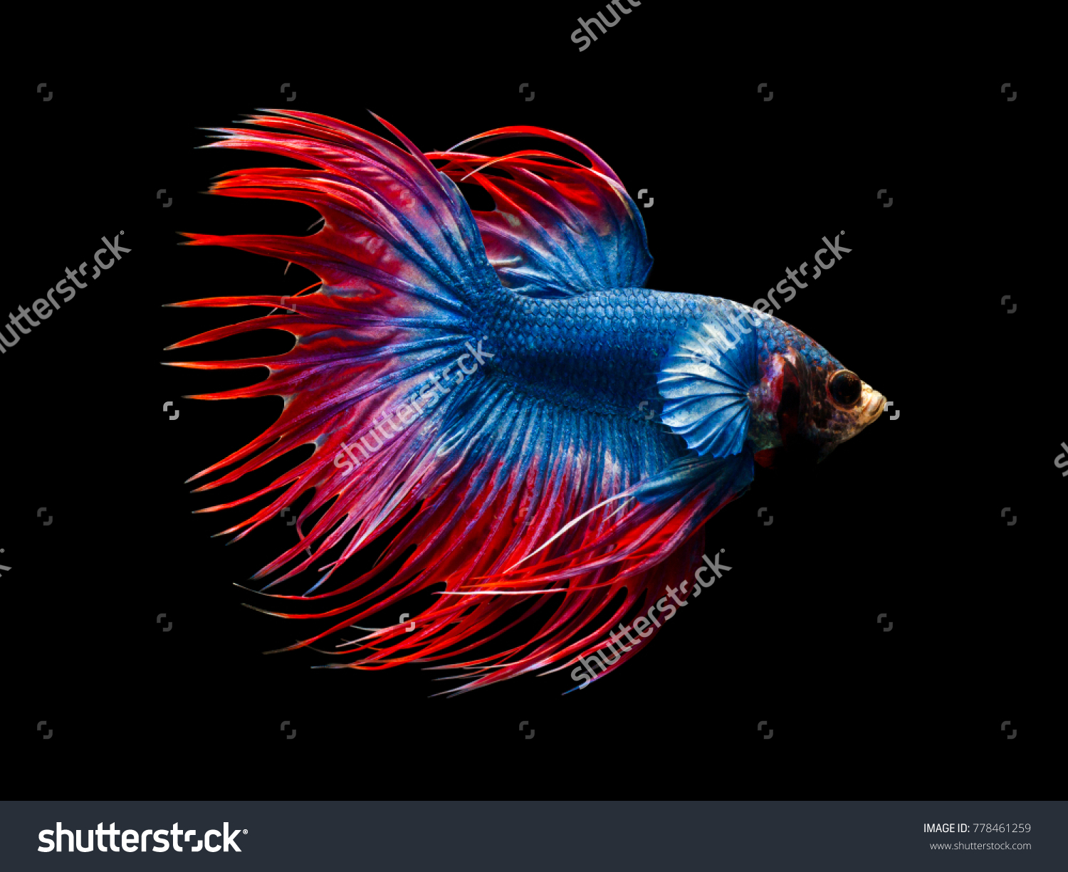Multi Color Siamese Fighting Fish Crowntailfighting Stock Photo ...