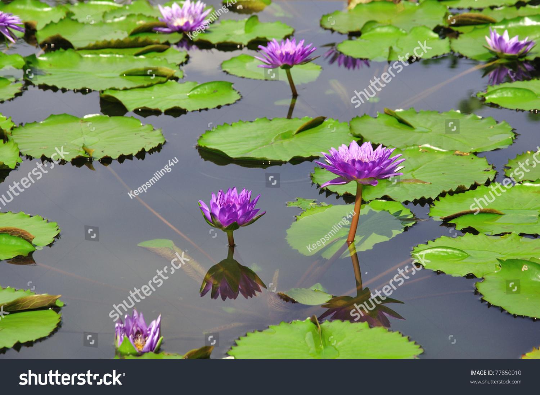 Lotus flower pond stock photo royalty free 77850010 shutterstock lotus flower in pond izmirmasajfo
