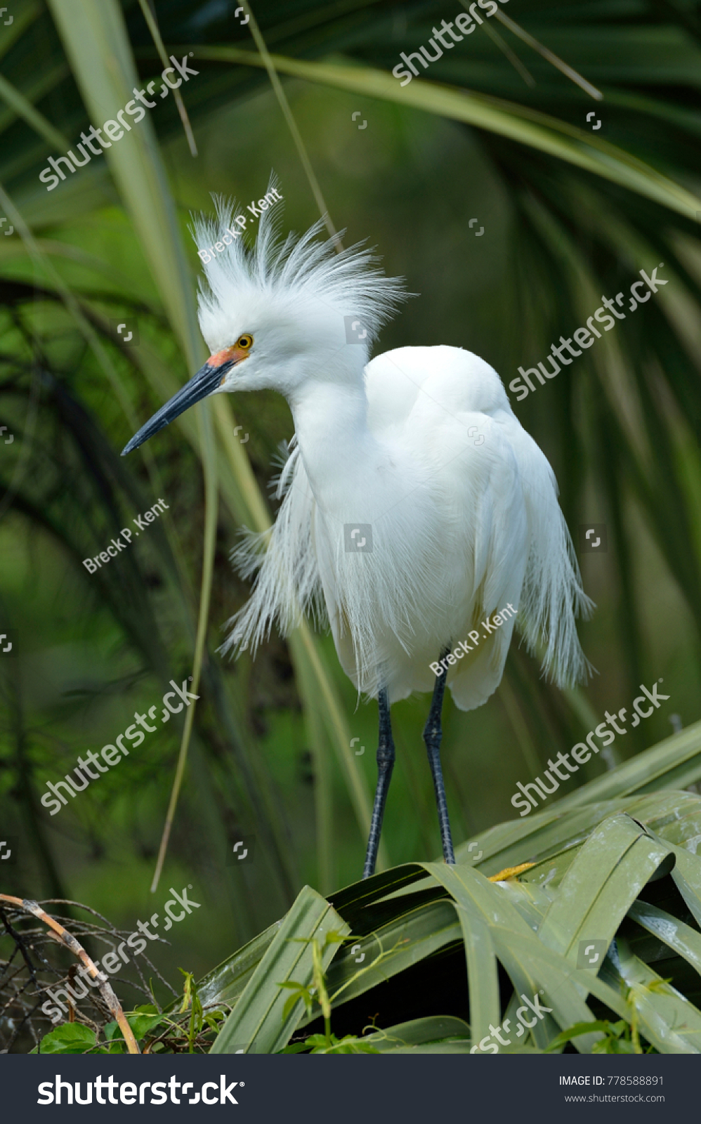 Snowy Egret (Egretta thula), St. Augustine, Floria #778588891