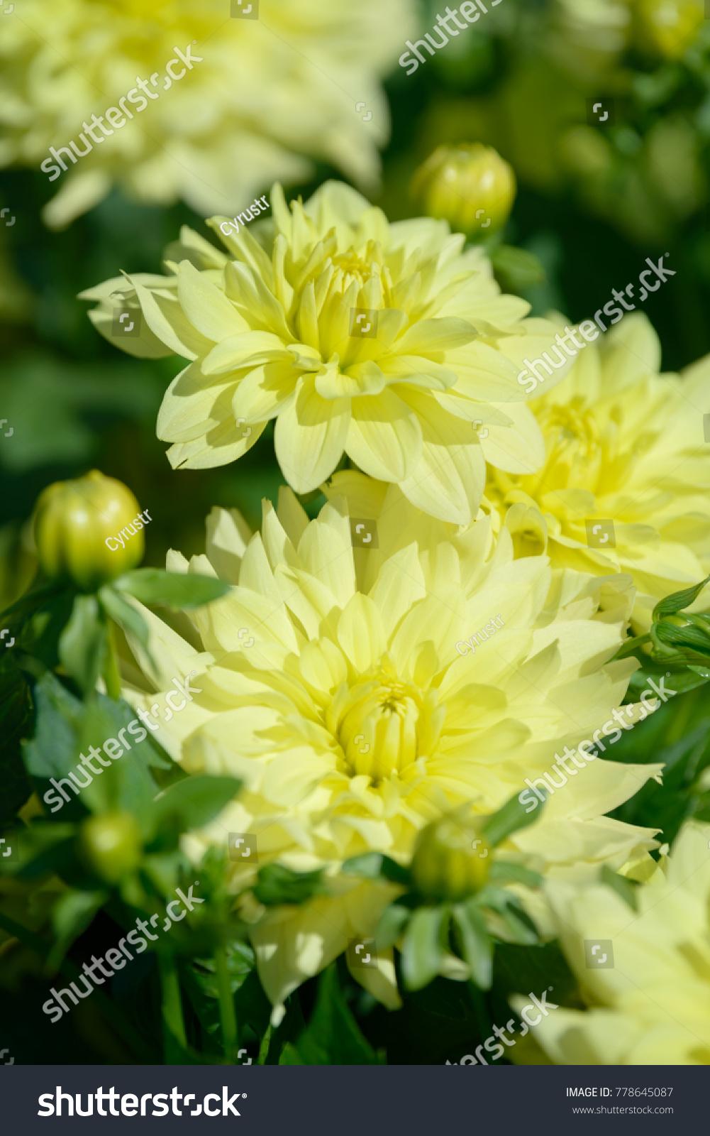 Dahlia White Yellow Flower Field Beautiful Stock Photo Royalty Free