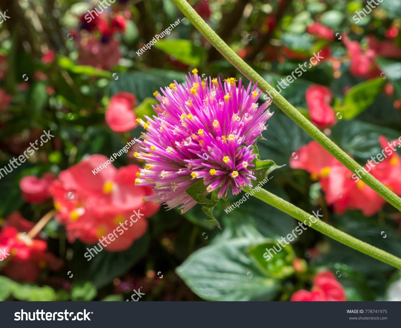 Spiky Pink Flower Stock Photo Edit Now 778741975 Shutterstock