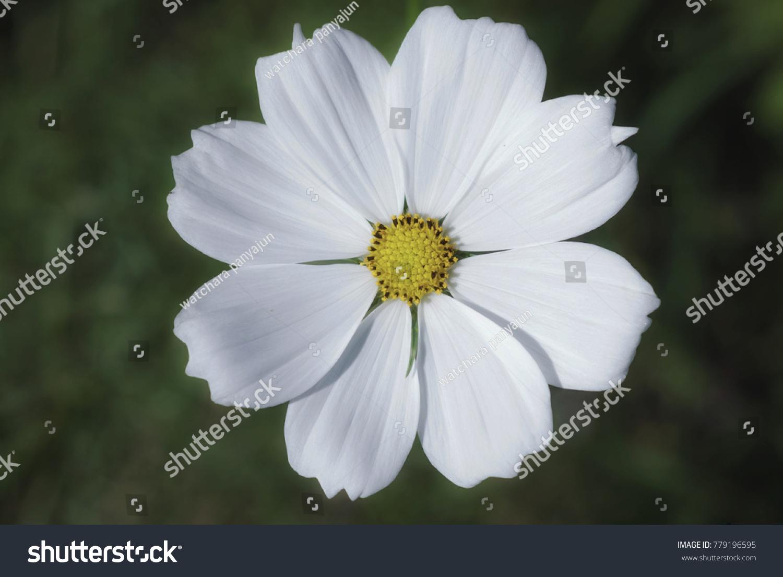 Cosmos Bipinnatus In Garden Gardening Summer Flower Flowering