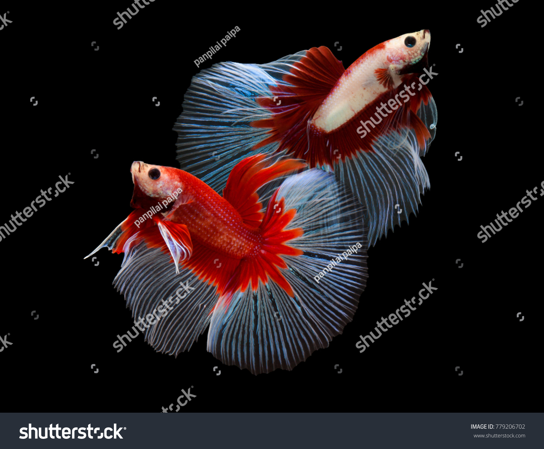 Red Color Siamese Fighting Fish Rosetailfighting Fish Betta Stock ...