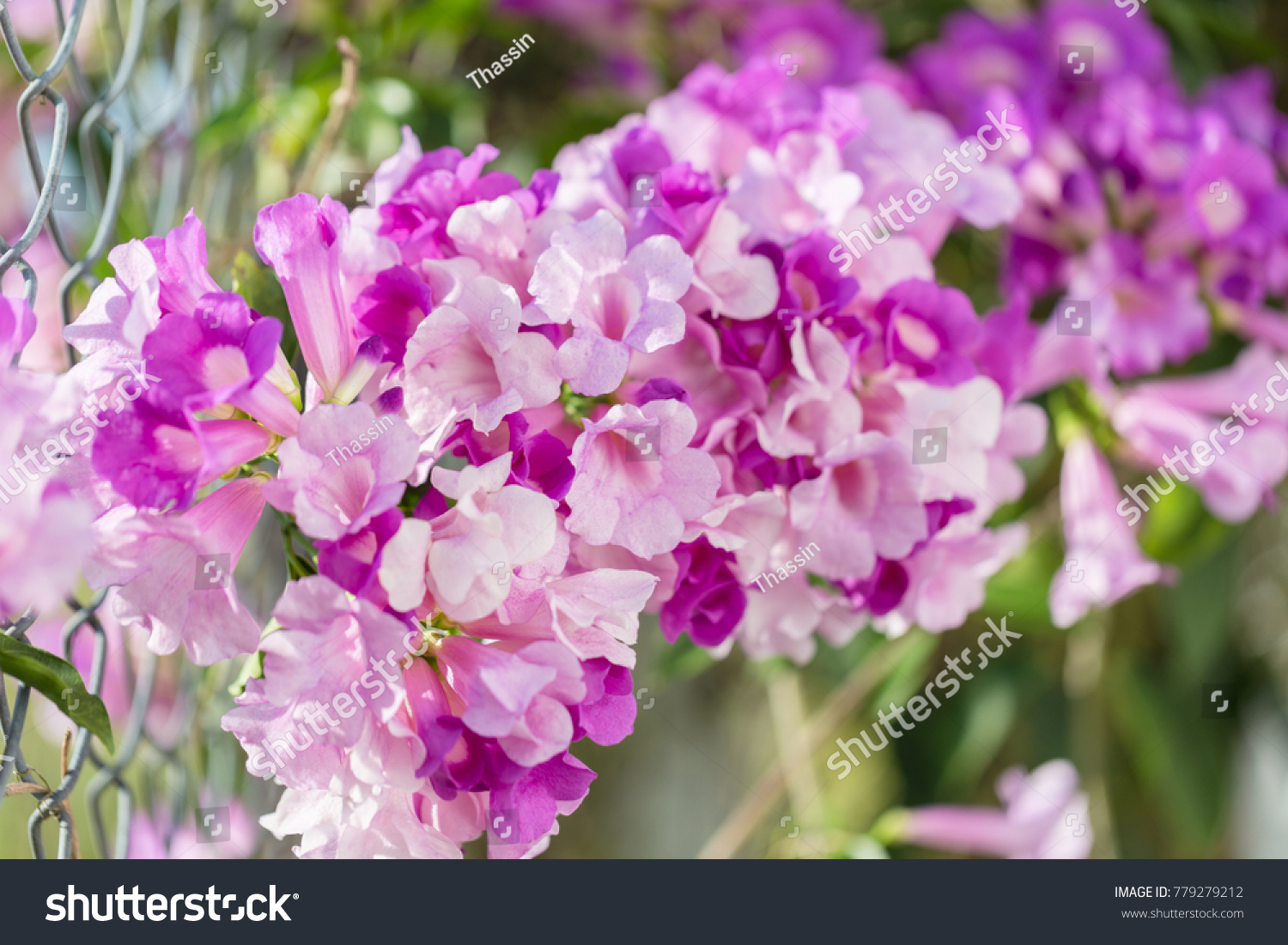 Close Up Of Light Purple Statice Flowers In Springtime Natural