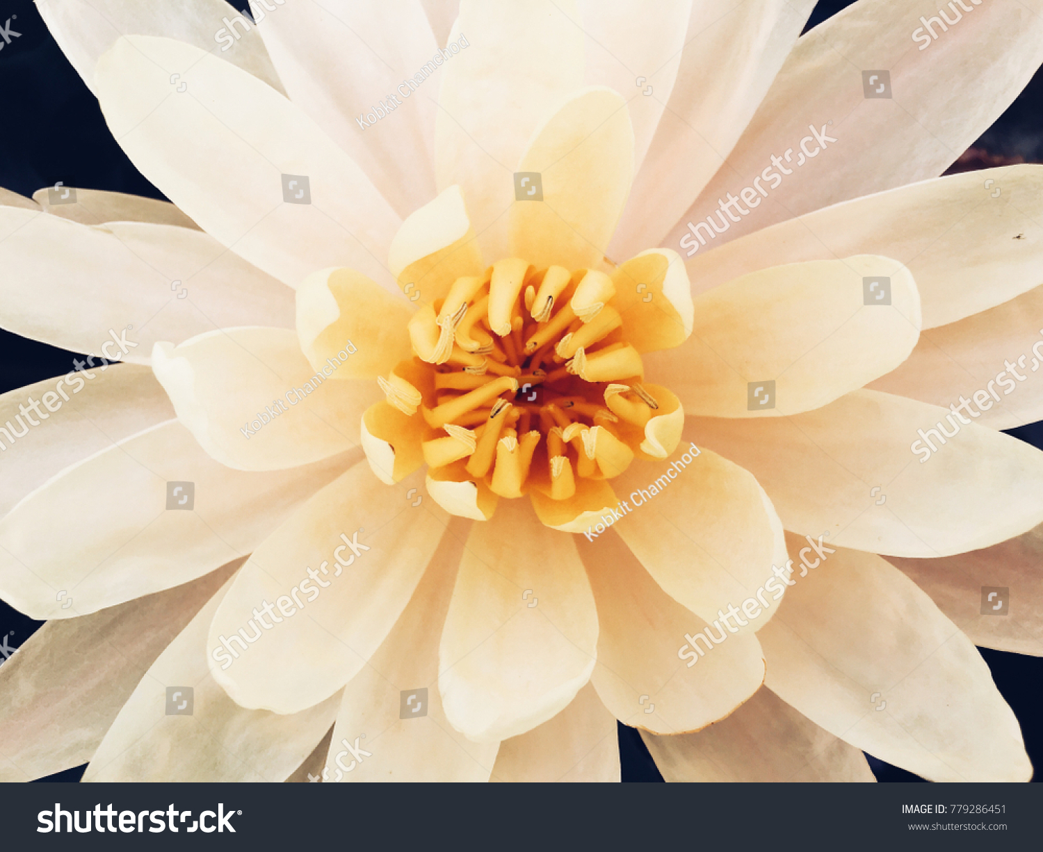 Top view white lotus flower yellow stock photo edit now 779286451 top view of white lotus flower with yellow carpel izmirmasajfo
