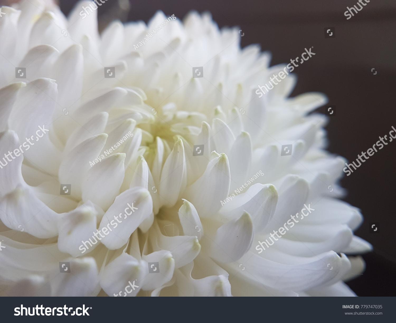 White Chrysanthemum Flower On Black Background Stock Photo Image