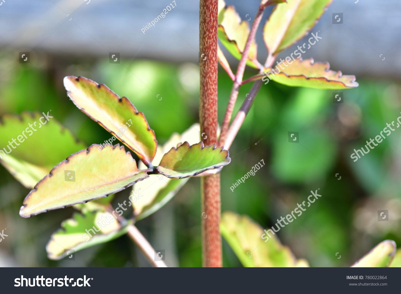 Asexual reproduction in bryophyllum pinnata