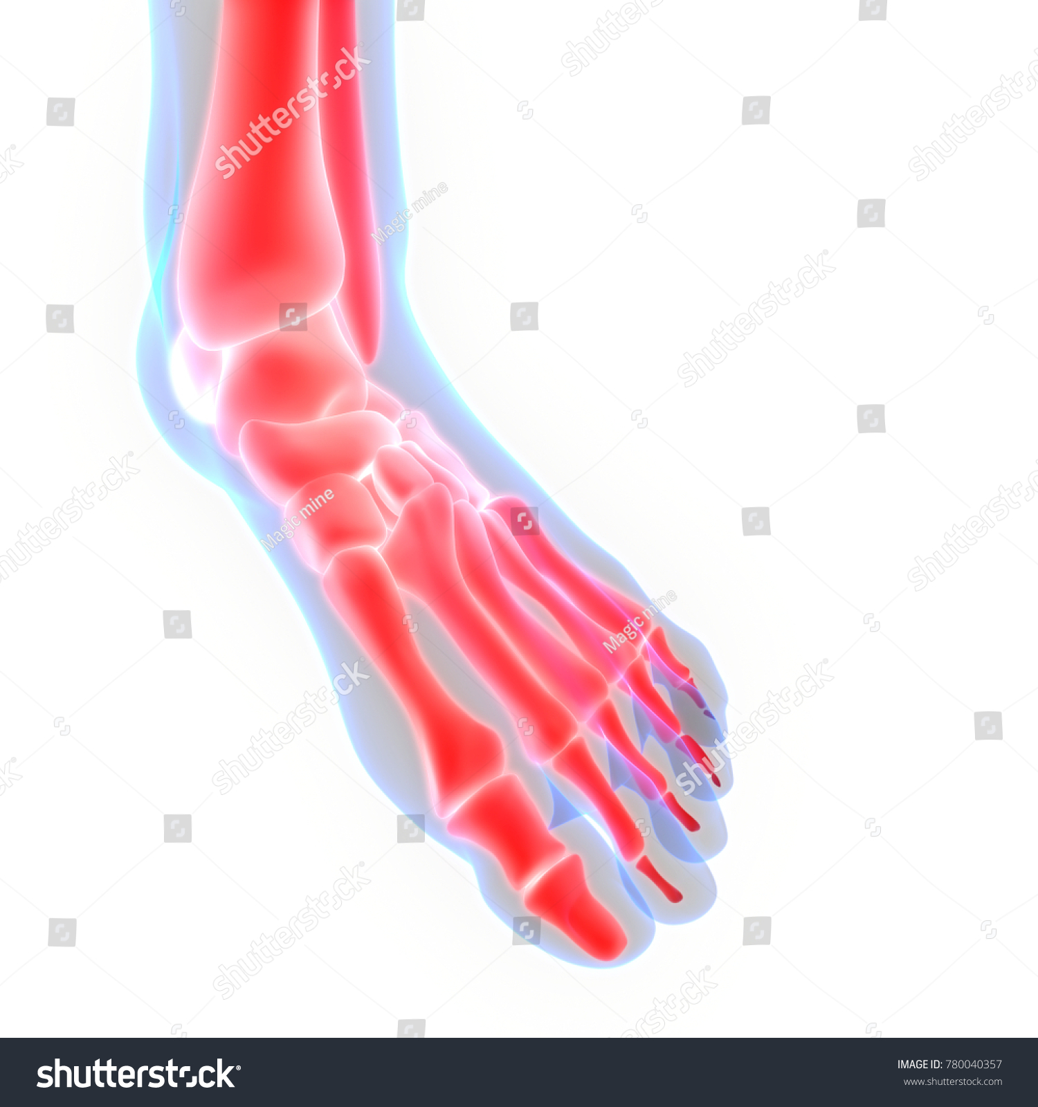 Human Skeleton System Foot Joints Anatomy Stock Illustration