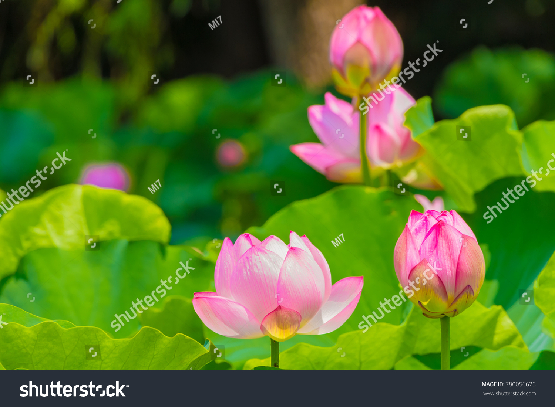 Lotus flower background lotus leaf lotus flower stock photo edit the lotus flowerckground is the lotus leaf and lotus flower and treeooting izmirmasajfo
