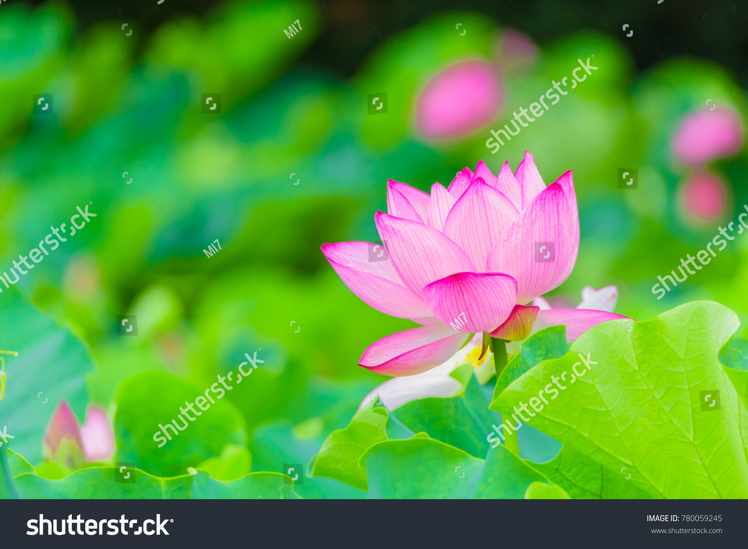 Lotus Flower Its Raining Background Lotus Leaf Lotus Stock Photo