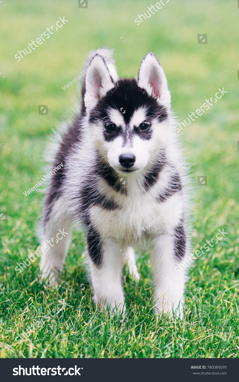 Black White Siberian Husky Puppy On Stock Photo Edit Now 780089095