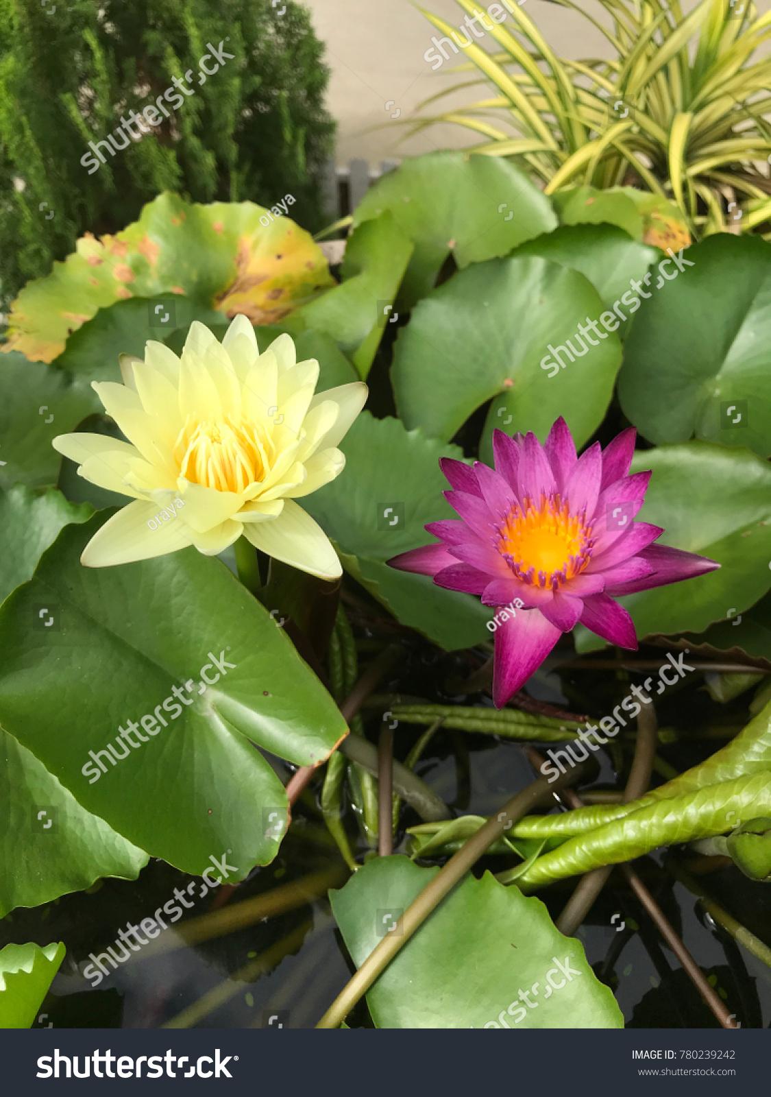 Lotus flower in the garden background ez canvas id 780239242 izmirmasajfo