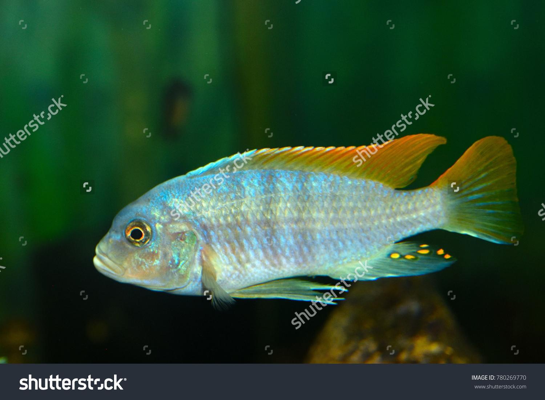 Deep Water Hap (Placidochromis electra) Aquarium Fish, electric blue ...