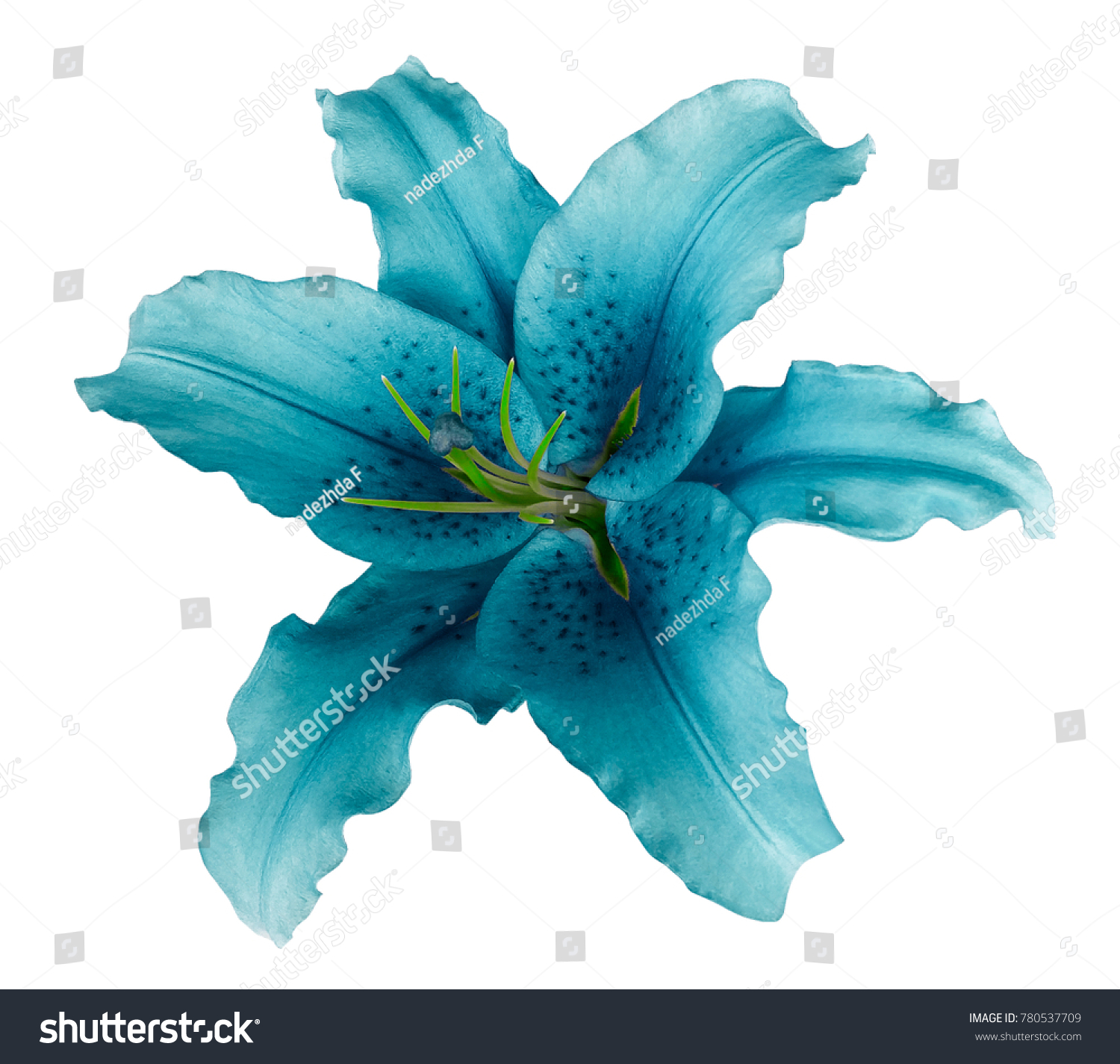 Turquoise lily flower on white isolated stock photo edit now turquoise lily flower on a white isolated background with clipping path no shadows for design izmirmasajfo