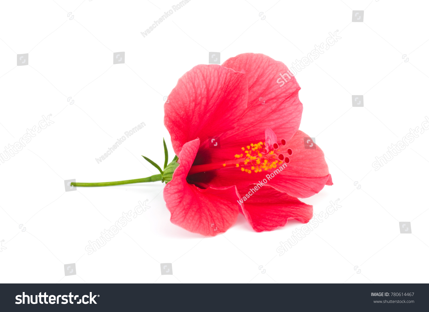 Fresh Hibiscus Flower Isolated On White Stock Photo Edit Now