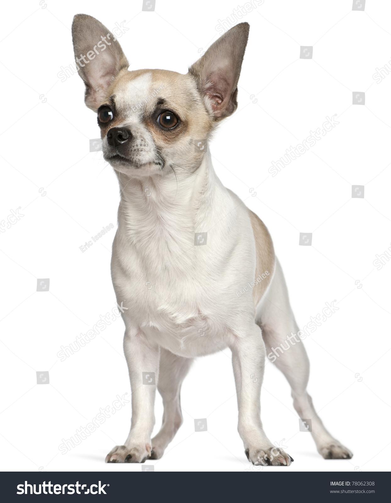 Chihuahua 9 Months Chihuahua, 9 Months Ol...