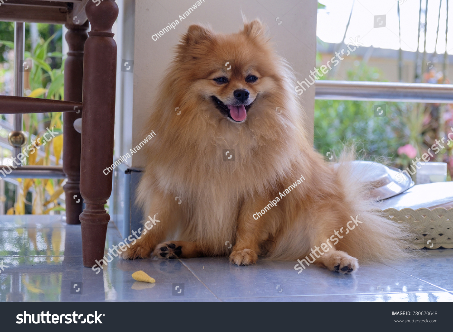 Cute Pomeranian Dog Brown Color Stock Photo Edit Now 780670648