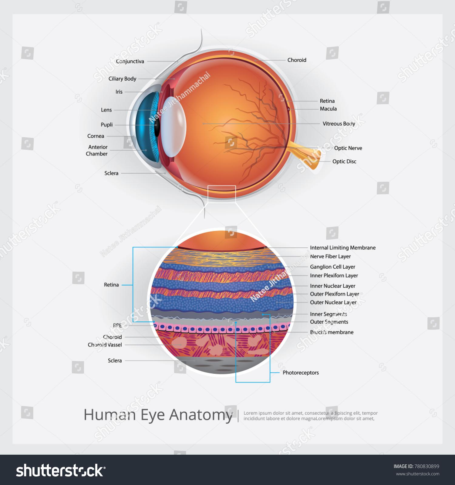 Human Eye Anatomy Vector Illustration Stock Vector (Royalty Free ...