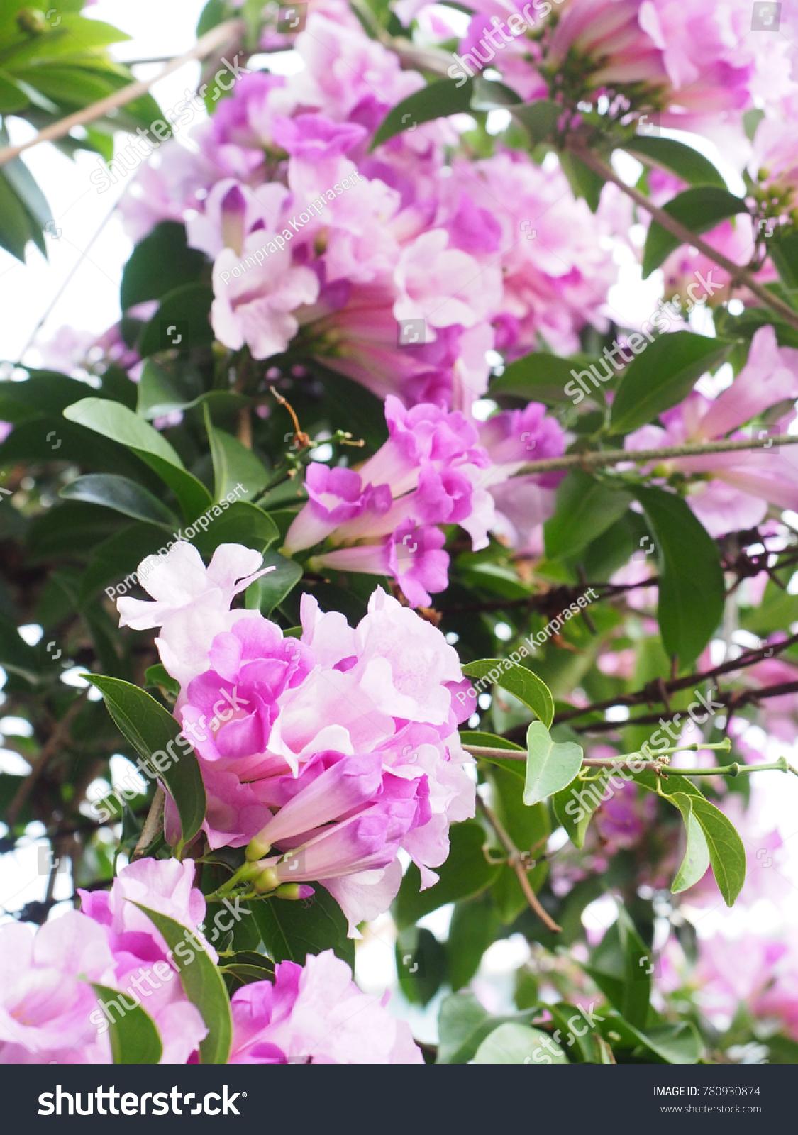 Beautiful Pink Vine Flower In The Botanical Garden Ez Canvas