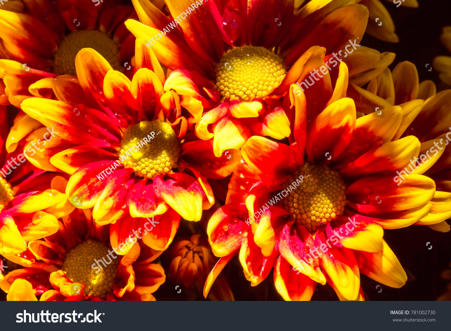 Chrysanthemum Two Tone Red Yellow Flowers Stock Photo Download Now