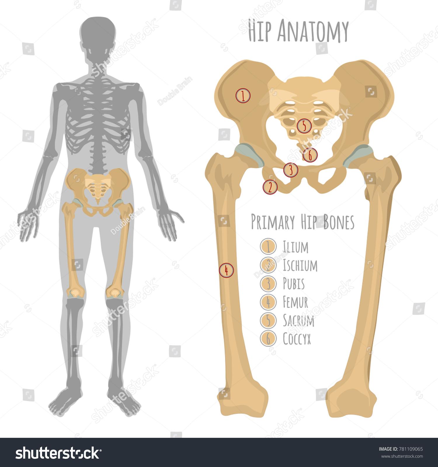 Anatomy of femur bone