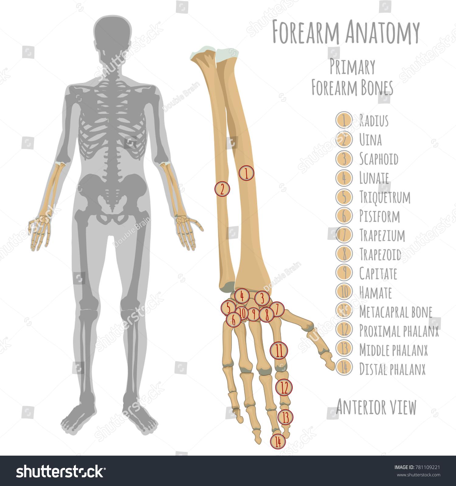 Male Forearm Bone Anatomy Anterior View Stock Vektorgrafik