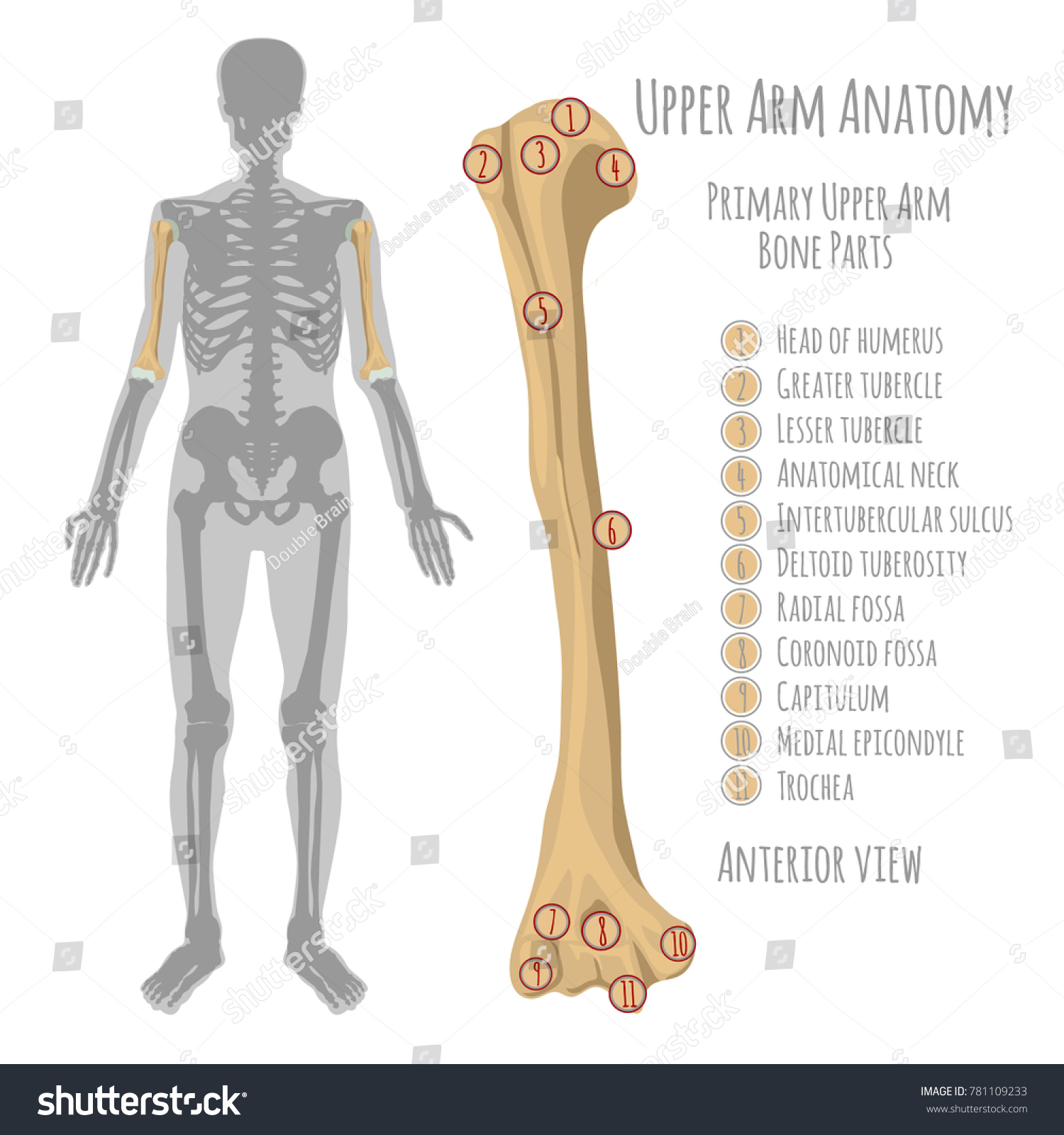 Male Upper Arm Bone Anatomy Anterior Stock Vector Royalty Free
