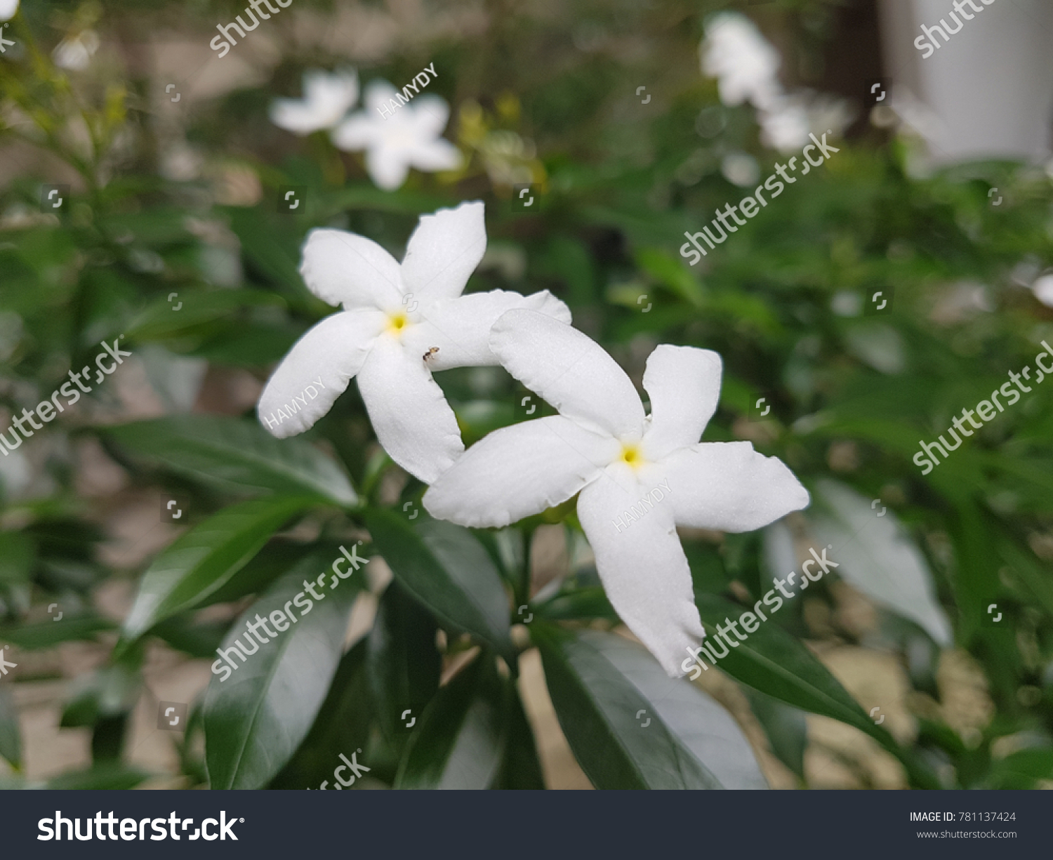 White Flowers Green Leaf Five Petals Stock Photo Edit Now