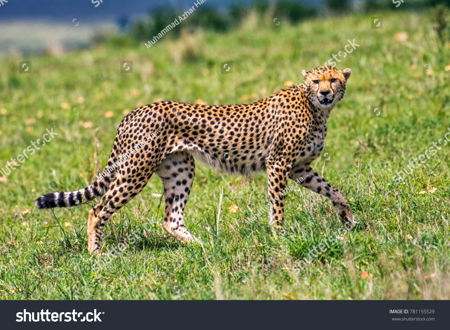 cheetah tiger jaguar kenya africa stock photo (royalty free