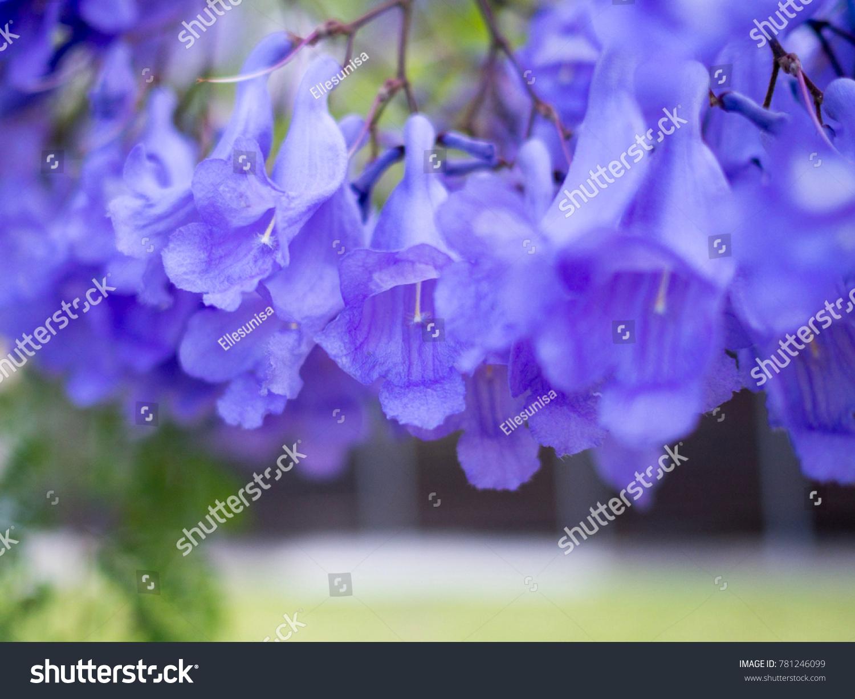 Beautiful Blooming Jacaranda Flowers Late Spring Stock Photo Edit